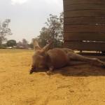 Brisbane - Lone Pine Koala Sanctuary - 05