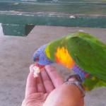 Dingo Beach : Perroquet
