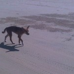 Fraser Island : Dingo