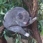 Brisbane – Lone Pine Koala Sanctuary – 16