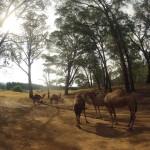Lost Patrol Camels Farm : Camels 01