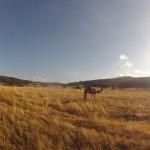 Lost Patrol Camels Farm : Camel 03