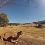 Lost Patrol Camels Farm : Camel 05