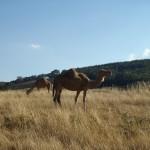 Lost Patrol Camels Farm : Camel 08