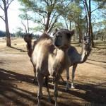 Lost Patrol Camels Farm : Camel 11