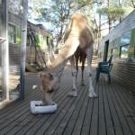 Lost Patrol Camels Farm : Camel 12
