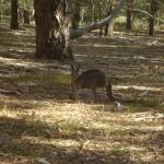 The Grampians National Park - Kangaroo - 02