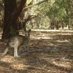The Grampians National Park - Kangaroo - 03