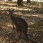 The Grampians National Park - Kangaroo - 04