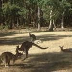 The Grampians National Park - Kangaroo - 05