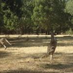 The Grampians National Park - Kangaroo - 06