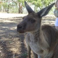 Adelaide - Cleland Wildlife Park : Kangaroo - 02