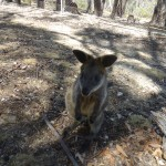 Adelaide - Cleland Wildlife Park : Wallaby - 01