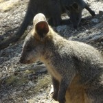 Adelaide - Cleland Wildlife Park : Wallaby - 02