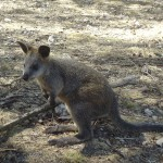 Adelaide - Cleland Wildlife Park : Wallaby - 03