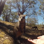 Adelaide - Cleland Wildlife Park : Wallaby - 04