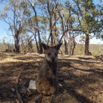 Adelaide - Cleland Wildlife Park : Wallaby - 05