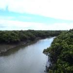 Phillip Island : Rhyll Inlet Mangrove - 02