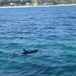Adelaide - Dolphins : Below the water - 01
