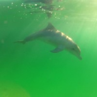 Adelaide - Dolphins : Under the water - 01