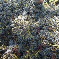 Diesen Landscape : Grapes – 04