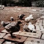 Deisen Landscape : Baby chicken
