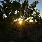 Deisen Landscape : Vineyard - 03