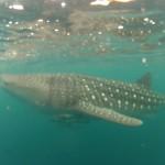 Whale Shark - 02