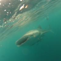 Whale Shark - 03
