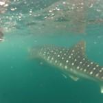 Whale Shark - 04
