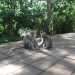 Uluwatu Temple : Monkeys - 02